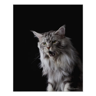Maine Coon cat 2 Print