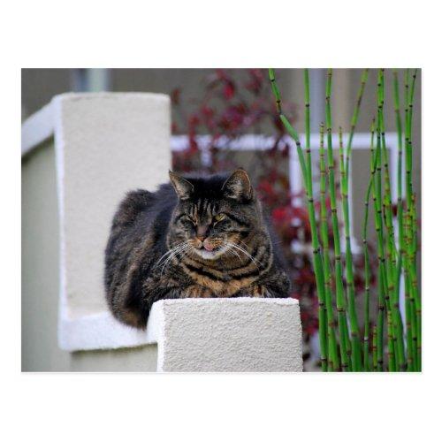 Maine Coon Cat in Garden Postcard