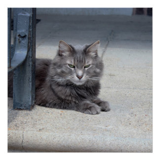 Maine Coon Cat Photo Poster