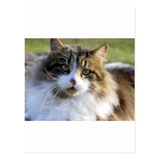 Maine Coon Cat Post Cards
