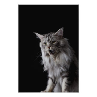 Maine Coon cat Posters