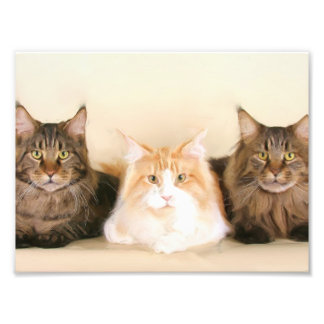 Maine Coon Cats Photo Print