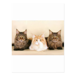 Maine coon Cats Postcard
