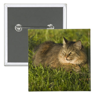 Maine coon (largest breed of domestic cats) 2 inch square button