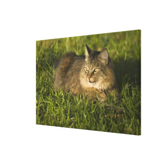 Maine coon (largest breed of domestic cats) stretched canvas prints