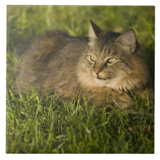 Maine coon (largest breed of domestic cats) ceramic tile