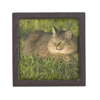 Maine coon (largest breed of domestic cats) jewelry box