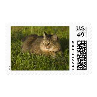 Maine coon (largest breed of domestic cats) postage stamp