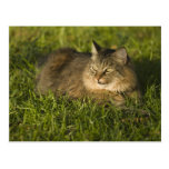 Maine coon (largest breed of domestic cats) postcard