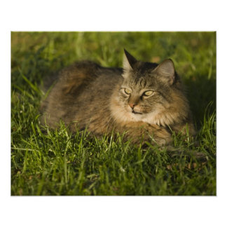 Maine coon largest breed of domestic cats print