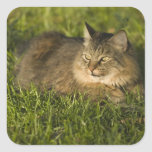 Maine coon (largest breed of domestic cats) sticker