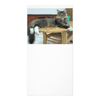 maine coon laying 2 card