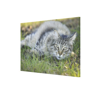 Maine Coon laying in grass, Central Florida. Stretched Canvas Print