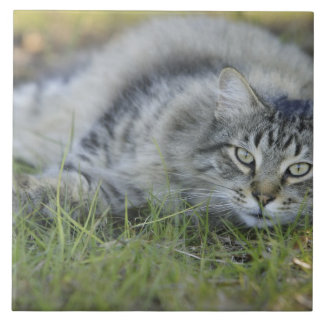 Maine Coon laying in grass, Central Florida. Ceramic Tile