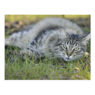 Maine Coon laying in grass, Central Florida. Postcard