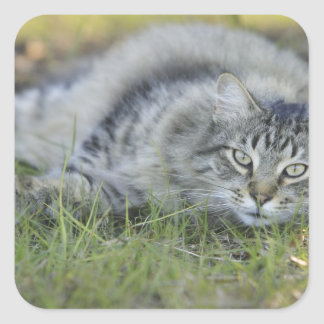 Maine Coon laying in grass, Central Florida. Square Sticker