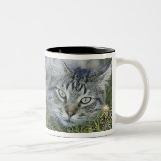 Maine Coon laying in grass, Central Florida. Two-Tone Coffee Mug