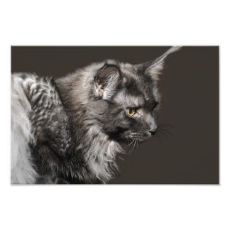 Maine Coon Photo Enlargement