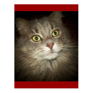 Maine Coon Post Cards