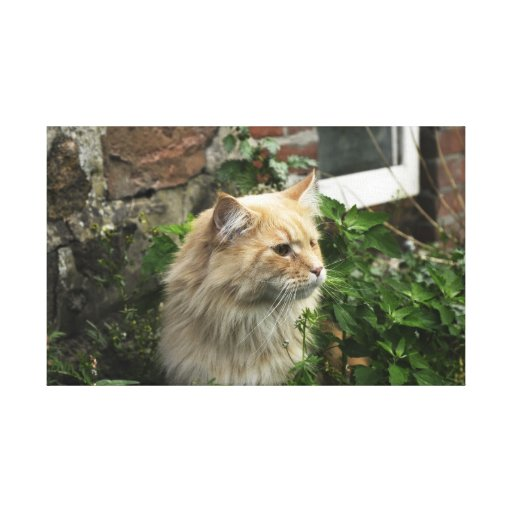 Maine Coon Stretched Canvas Print