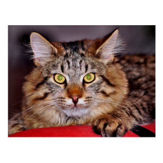 Maine-Coone Cat Postcard
