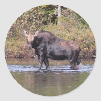 Maine Cow Moose Classic Round Sticker