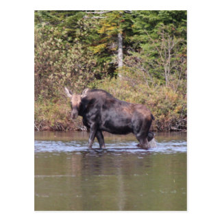 Maine Cow Moose Postcard