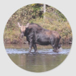 Maine Cow Moose Sticker