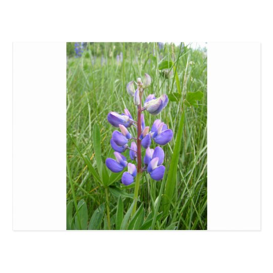 Maine Lupines Field Stockholm, ME Postcard