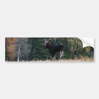 Maine Moose Yearling Bumper Sticker