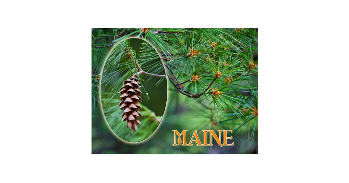maine state flower  white pine cone and tassel postcard