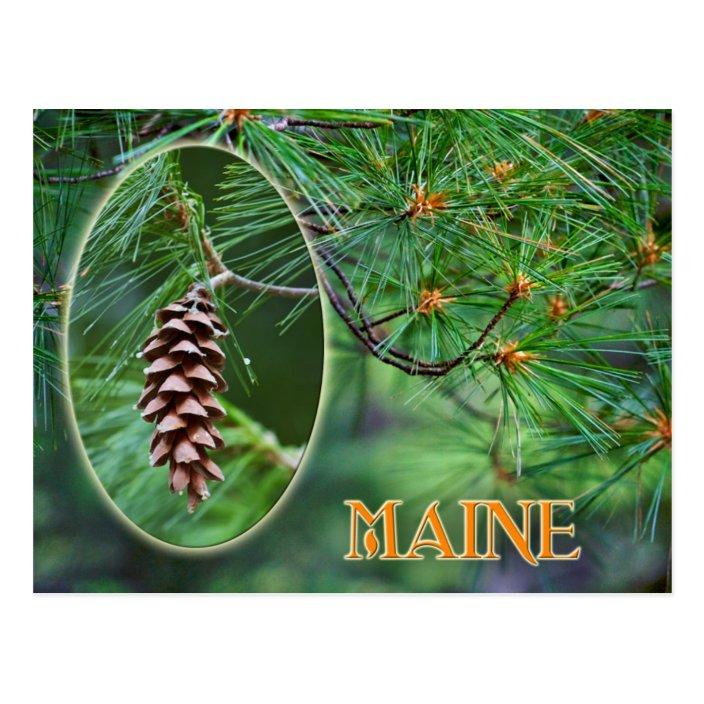 Maine State Flower: White Pine Cone and Tassel Postcard   Zazzle ...