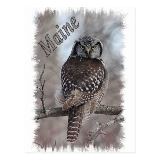Maine Wildlife - Northern Hawk Owl Postcard