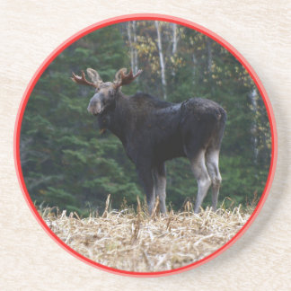 Maine Yearling Bull Moose Coaster