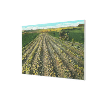 MaineView of a Potato Farm in Maine Gallery Wrapped Canvas