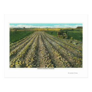 MaineView of a Potato Farm in Maine Postcard
