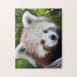 "Maiya The Red Panda Jigsaw Puzzle<br><div class=""desc"">Red Pandas are classed as endangered and are under threat from habitat loss, illegal trade and poaching. They can be found in Bhutan, China, India, Myanmar and Nepal. Fewer than 10, 000 Red Pandas are thought to remain in the wild. Maiya was born at Taronga Zoo, Sydney on 20th November...</div>"