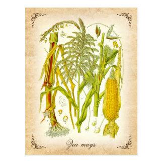 Maíz (maíz) - ejemplo del vintage postales