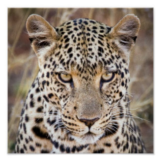 Majestic African Leopard Poster or Print
