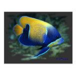 Majestic Angel Fish Post Cards