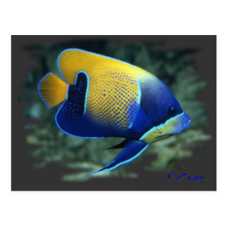 Majestic Angel Fish Postcard