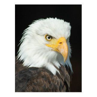 Majestic Bald Eagle Portrait Postcard
