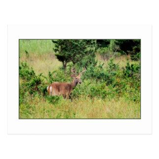 'Majestic Buck' Postcard