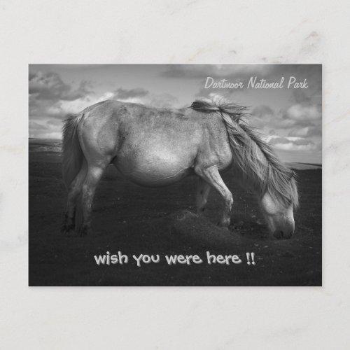 Majestic Dartmoor Pony Portrait postcard postcard