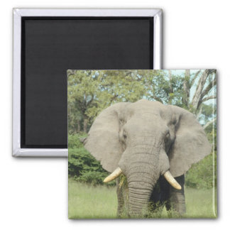 Majestic Elephant 2 Inch Square Magnet