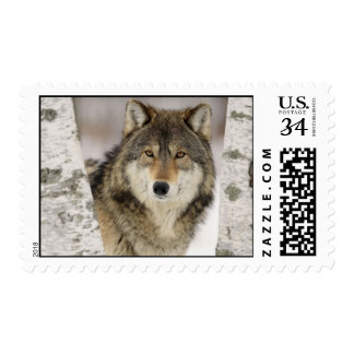 Majestic grey wolf in snow covered forest postage stamp