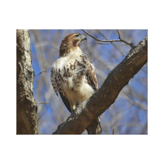 Majestic Hawk Canvas Print