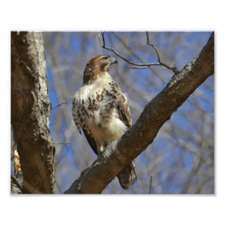 Majestic Hawk Photo Print