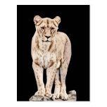 Majestic Lioness Post Card
