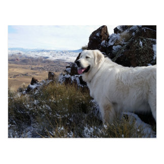Majestic Mountain Dog post card